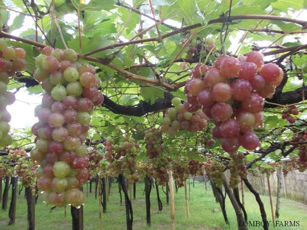how to grow grapes from cuttings in the philippines